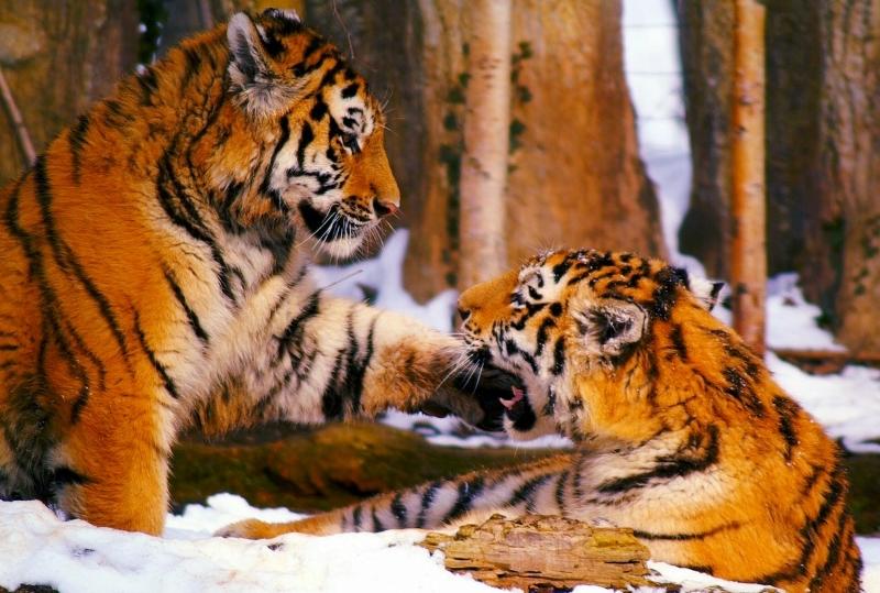 Gravar sons de tigres para ajudar a salvar a população selvagem