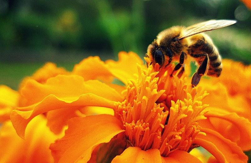 Poderão as cidades salvar as abelhas e as borboletas? [Estudo]