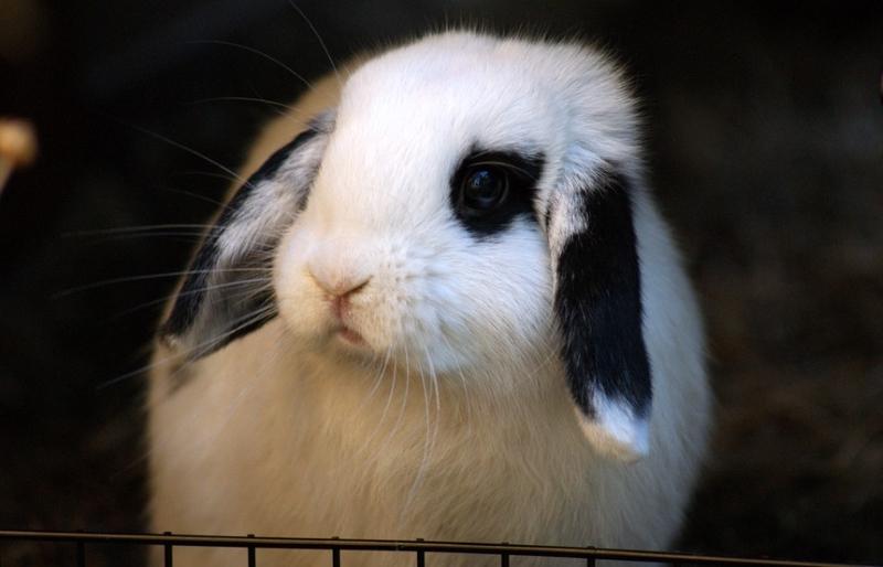 Índia proíbe teste de produtos químicos em olhos e pele de coelhos