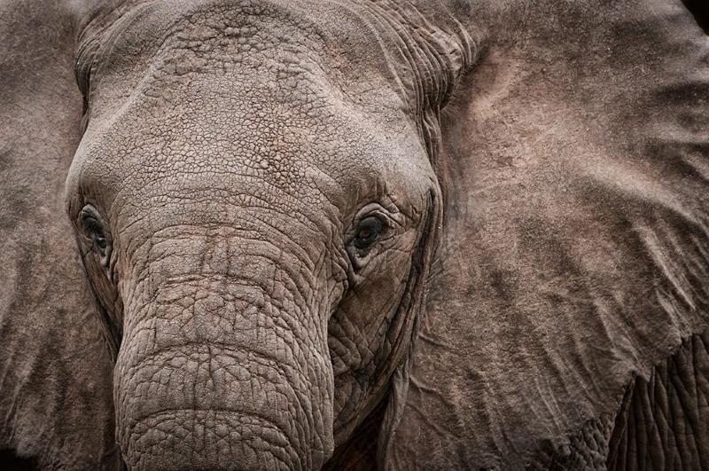 Elefantes estão a nascer sem presas devido a décadas de caça ilegal