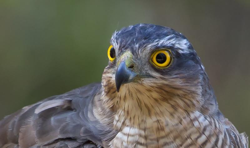 Fura-bardos e Floresta Laurissilva da Madeira em risco