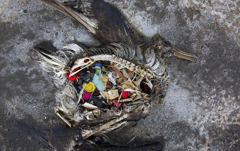 Aves marinhas comem plástico porque este cheira a comida, diz estudo