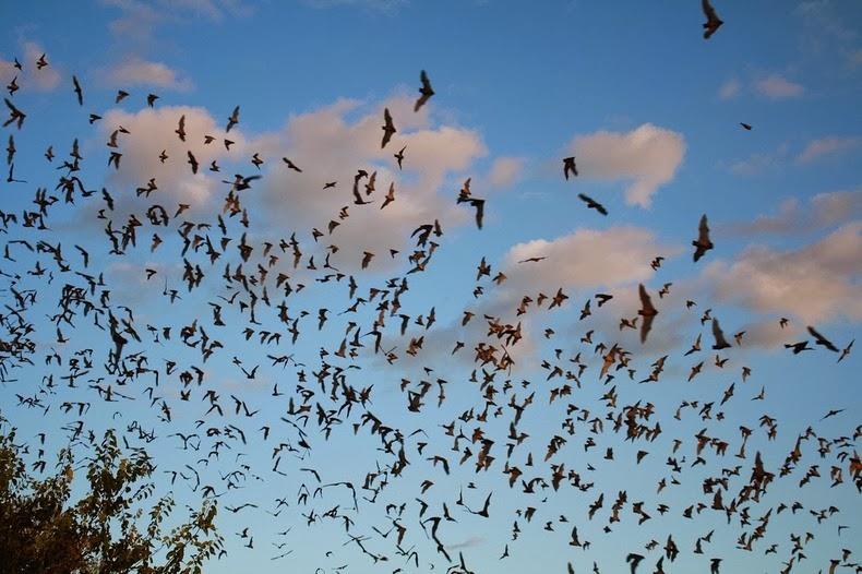 Morcego brasileiro bate recorde de voo mais rápido do reino animal