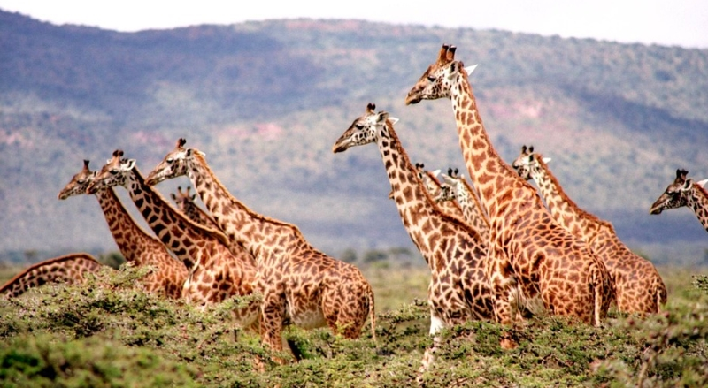 """Girafas estão a caminhar para a extinção após """"diminuição dramática"""" da população"""