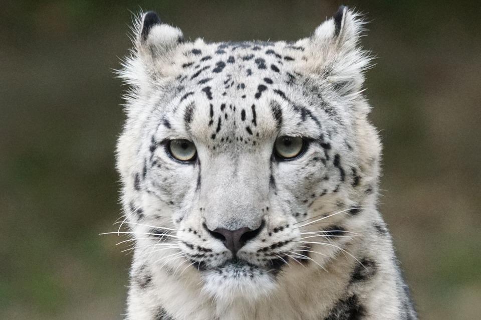 Centenas de leopardos-das-neves mortos ilegalmente todos os anos