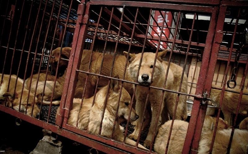Proibido o abate de cães no maior mercado de carne de cão da Coreia do Sul