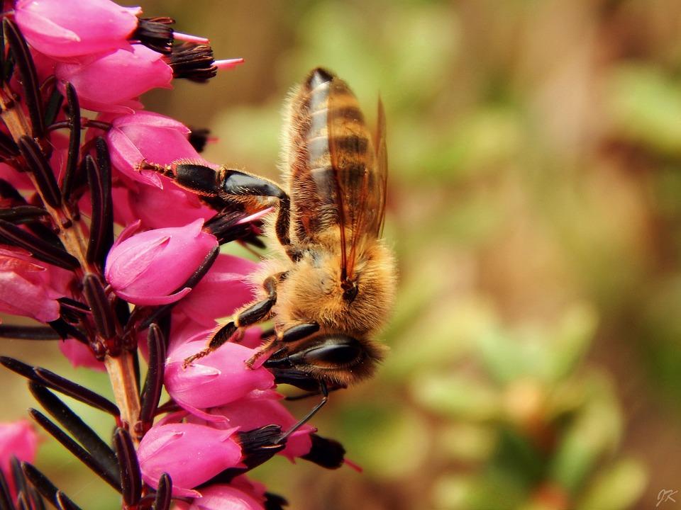 Pesticidas afetam a memória das abelhas, dificultando a procura de pólen