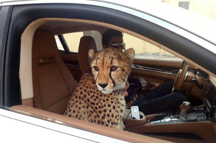 Emirados Árabes Unidos proíbem posse de animais de companhia selvagens, como leões e chitas