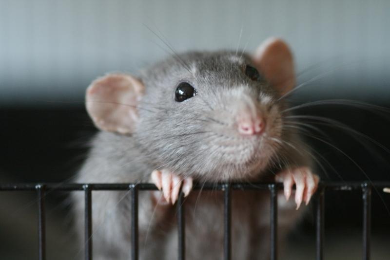 Parlamento chumbou o aumento de restrições ao uso de animais na investigação científica
