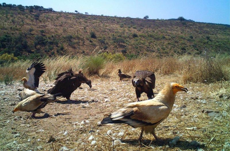 Medicamento veterinário ameaça Abutres em Portugal