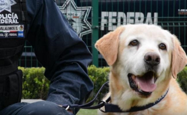 Cães-polícia do México já não serão abatidos depois de se aposentarem
