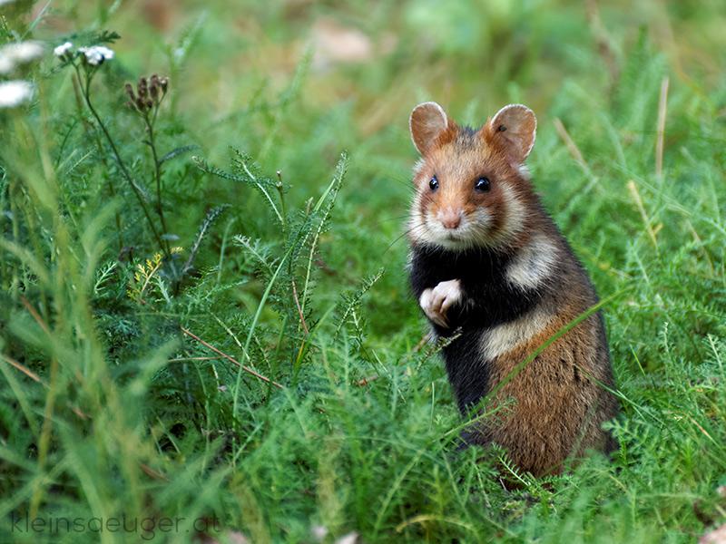 Monoculturas de milho transformam hamsters em canibais que comem as suas crias, diz estudo