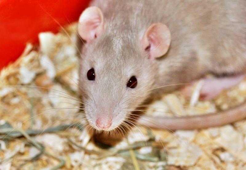 Houve menos 500 000 animais usados em testes na Alemanha