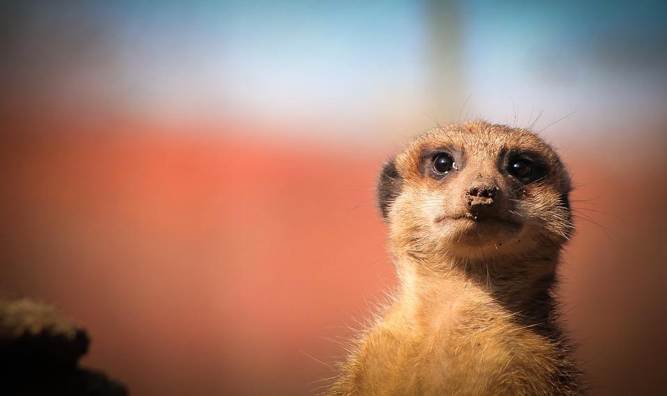"""GNR resgata suricatas, cobras, um chimpanzé e um coati na operação """"Thunderbird"""""""