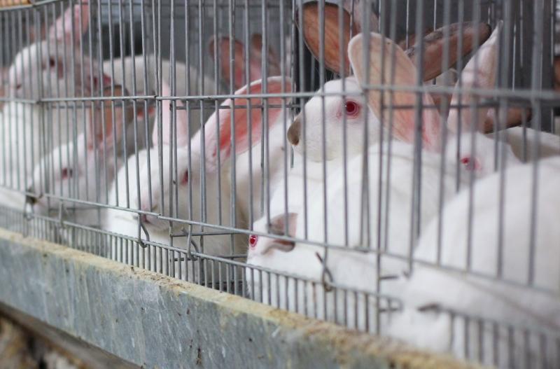Parlamento Europeu aprova resolução de deputado que quer o fim da criação de coelhos em gaiolas