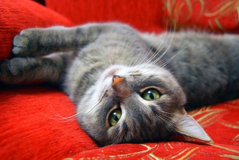 Descobertos níveis elevados de químicos nos gatos de interior