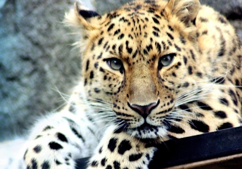 Leopardos e tigres ameaçados vão ter um novo parque nacional de 1,5 milhões de ha na China