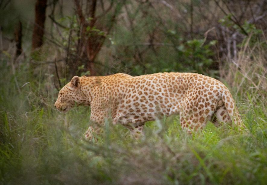 """Descobertos leopardos """"morango"""" raríssimos na África do Sul"""