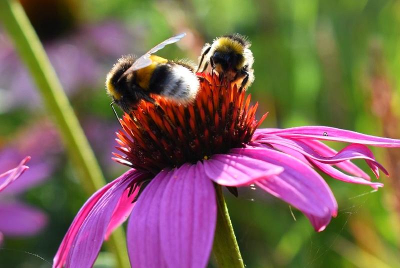 Abelhas fazem com que as flores cresçam mais e sejam mais fragrantes, revela estudo