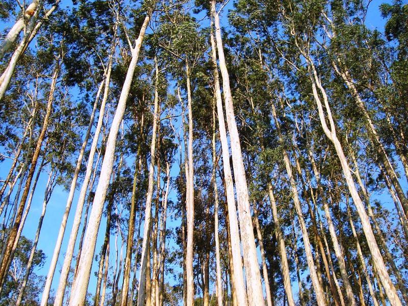 Eucaliptos reduzem a biodiversidade e secam os ribeiros, diz estudo