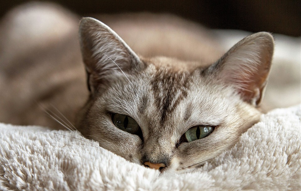 Afinal, os gatos gostam mais das pessoas do que se pensava, conclui estudo