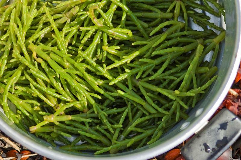 Salicórnia, o sal verde