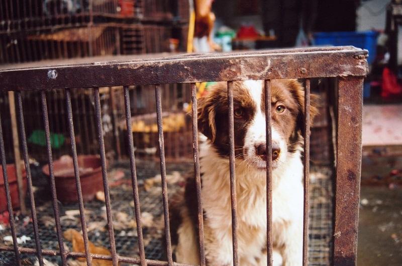 """China """"prepara-se para proibir venda de carne de cão"""" no festival de Yulin, diz HSI"""