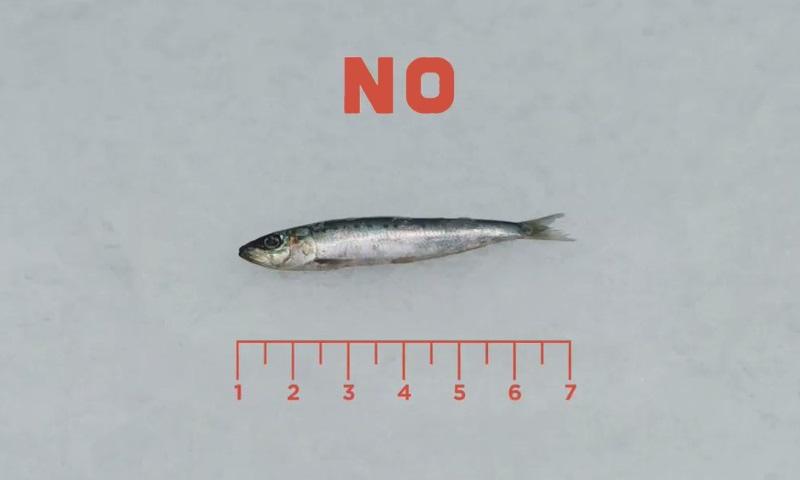 Sabe porque devia reparar no tamanho do peixe que compra?