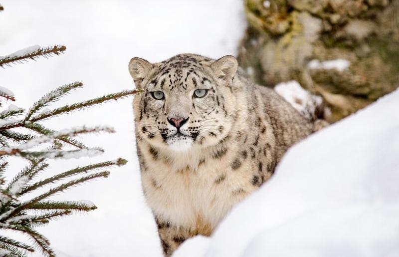 Descobertas 3 novas subespécies de leopardo-das-neves