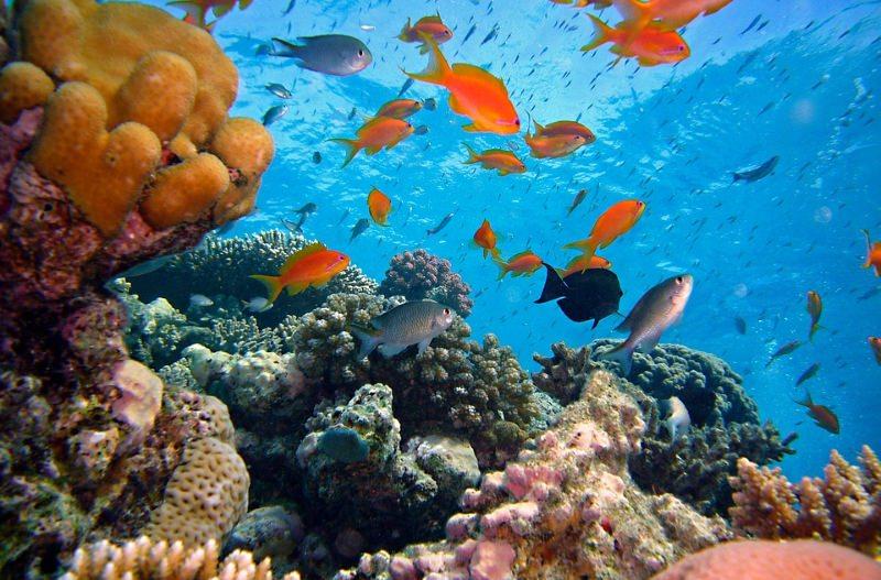 A vida social dos peixes pode ser fundamental para salvar os recifes de coral