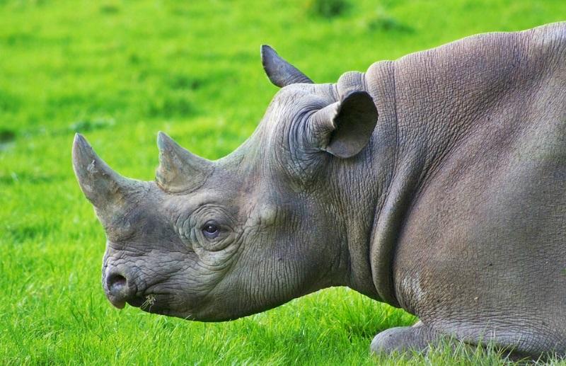 África do Sul revoga proibição do comércio doméstico de chifre de rinoceronte