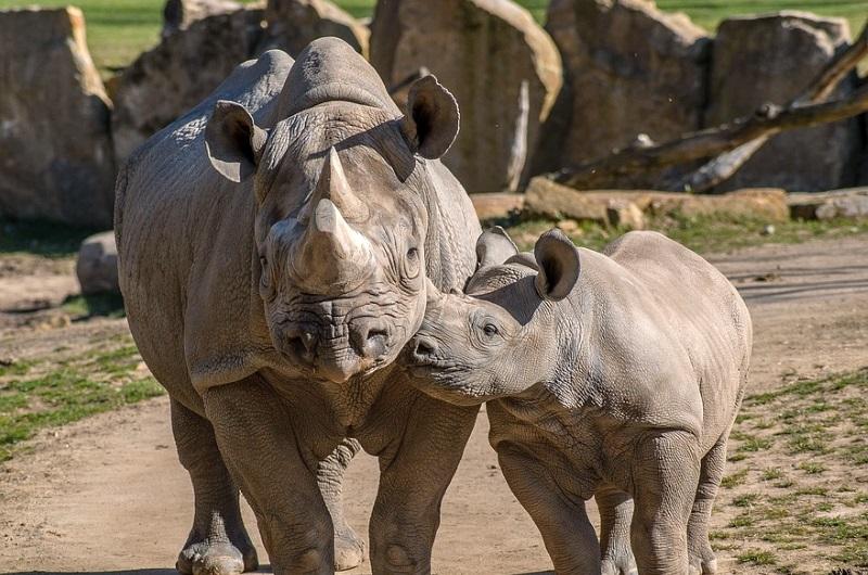 Rinocerontes negros regressam ao Ruanda, de onde tinham desaparecido há 10 anos