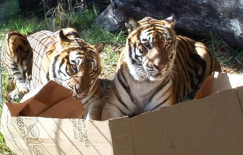 Será que os leões, tigres e linces gostam tanto de caixas como os gatos?
