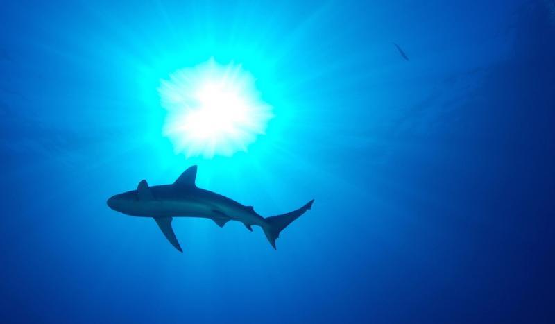 Mais quatro companhias aéreas chinesas proibiram o transporte de barbatanas de tubarão
