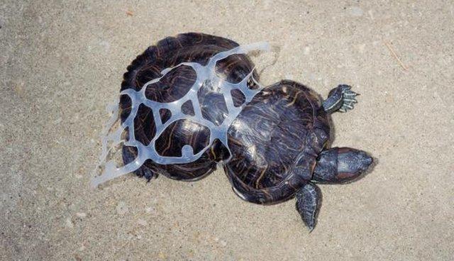 Tartaruga presa em suporte para latas