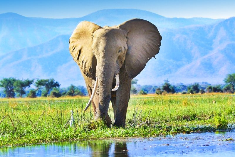 Comissão Europeia proíbe a exportação de marfim em bruto