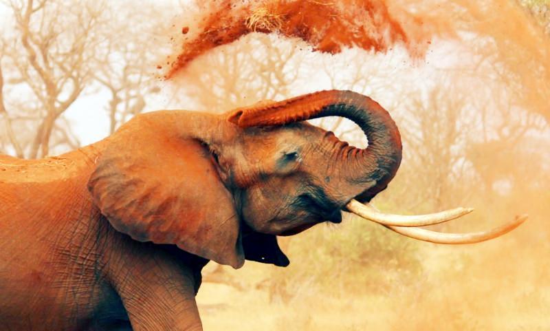 elefante africano atira terra sobre as costas