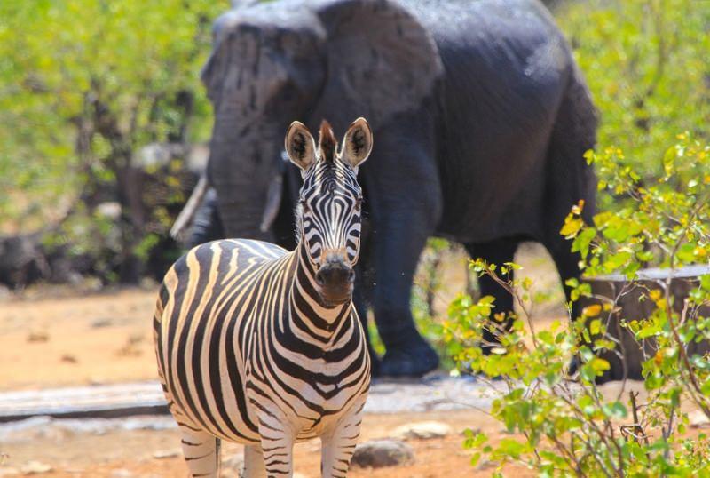 Moçambique vai receber 6000 animais do Zimbabwe para repovoar parque nacional