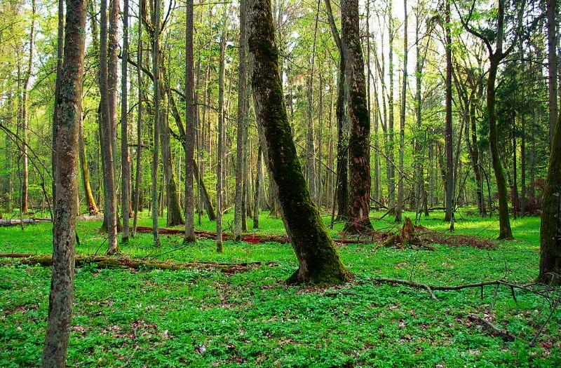 Floresta virgem da Polónia deve deixar de ser Património Natural da UNESCO, diz ministro polaco