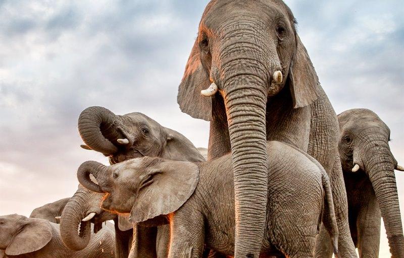 Cria de elefante resgatada é adotada por manada em rara história de sucesso
