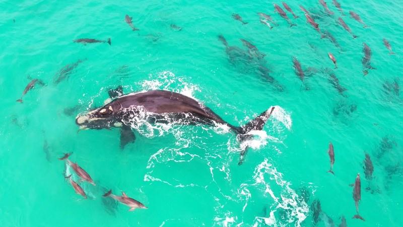 Baleia brinca com um grupo de golfinhos [vídeo]