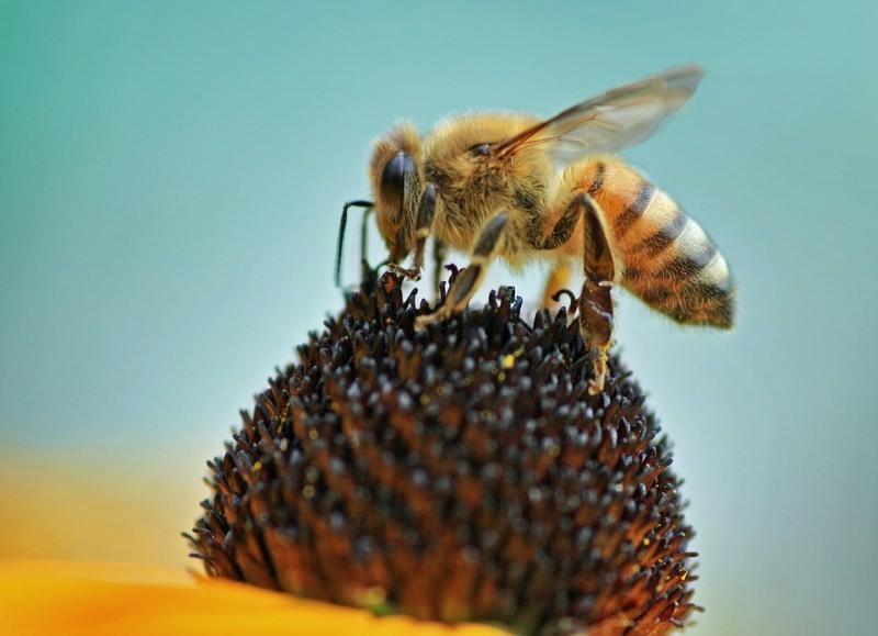 Exposição a neonicotinóides resulta na morte prematura da abelha rainha e obreiras