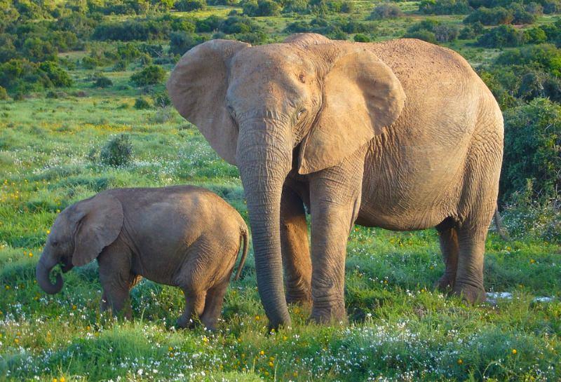 Aumentou o número de elefantes em Tsavo, no Quénia