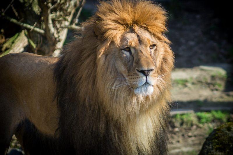 Número de leões em Angola passou de 1000 para 10