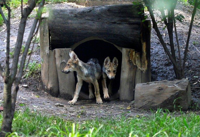 Nascimento de 7 crias de lobo no México dá nova esperança à espécie ameaçada