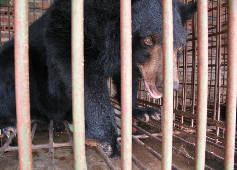 Vietname vai fechar quintas de extração de bílis de urso e resgatar 1000 ursos