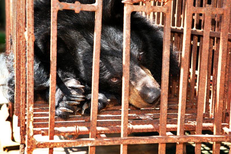 Praticantes de medicina chinesa na Malásia apoiam uso de alternativas a espécies ameaçadas