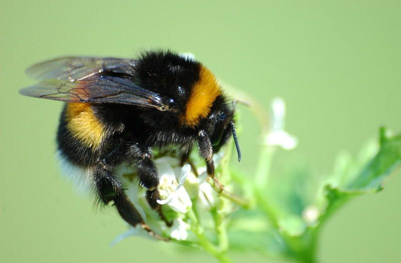 Pesticidas poderão levar as populações de abelhões à extinção, avisa estudo