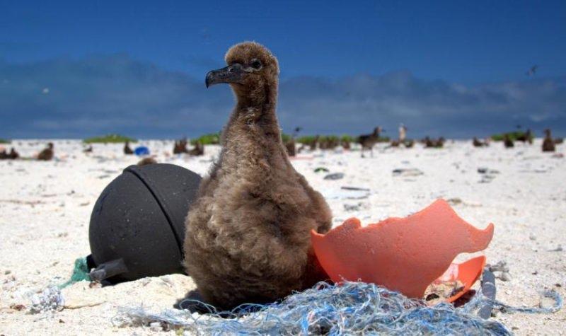 Numa ilha remota, as crias de albatroz têm dietas repletas de lixo plástico