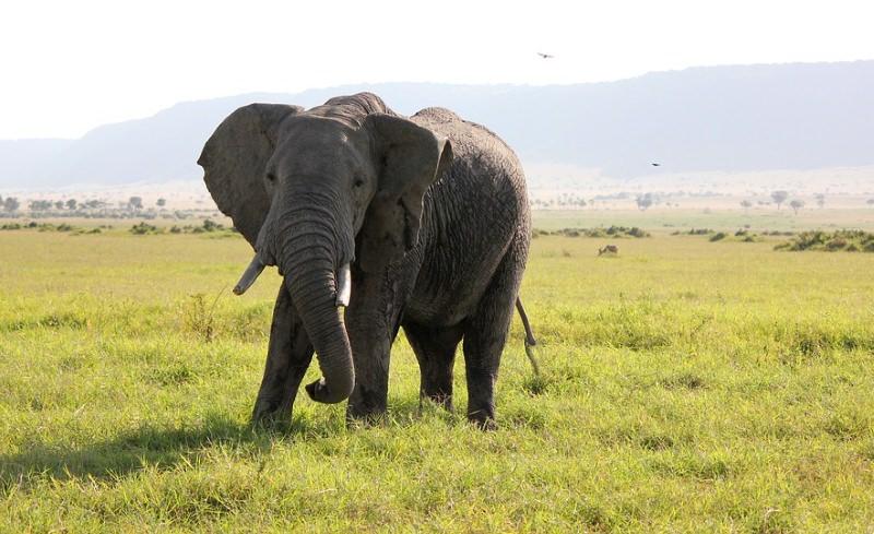 Reino Unido é o maior exportador de marfim legal do mundo, avisam especialistas